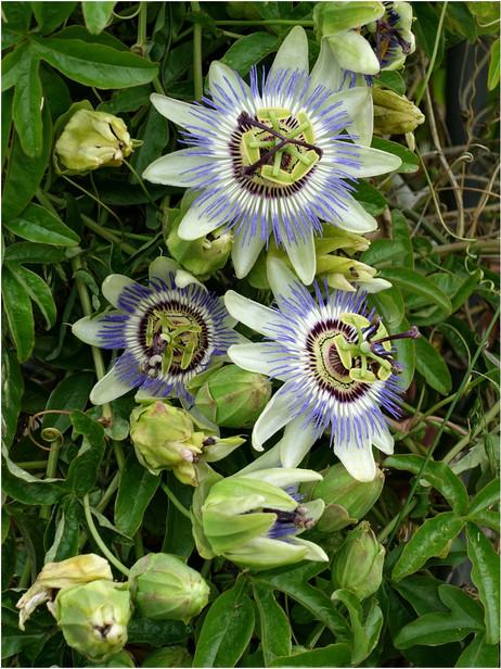 Fleurs de passion