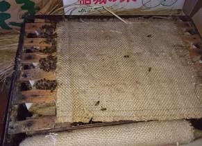 みつばち生きています!越冬成功!日本種も西洋種も両方元気です!