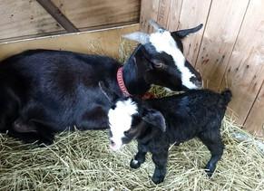 仔山羊が産まれました。
