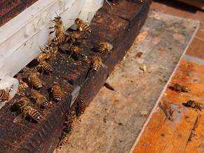 西洋蜂が花粉を持帰り始めました。