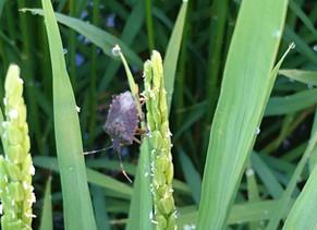 稲の害虫・カメムシ