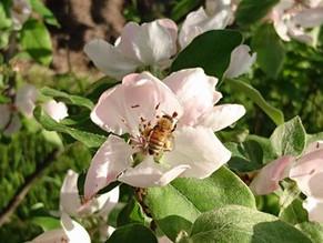 マルメロと花梨が花盛りです