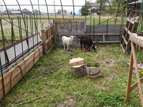 小山羊を飼い始めました。