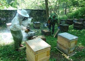 綺麗で美味しいアカシア蜂蜜が採れました。