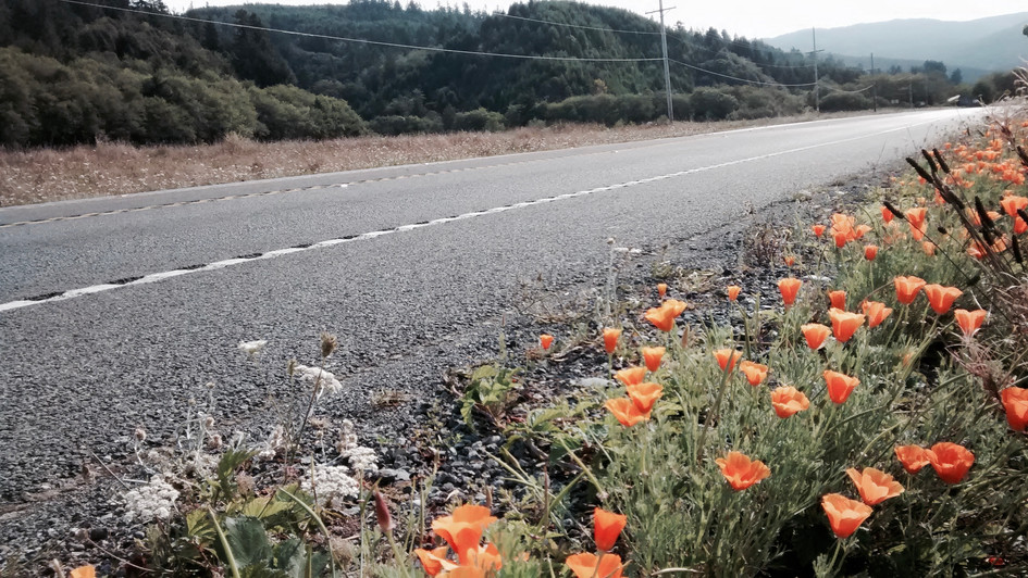 poppies immediately upon entering California (2014)