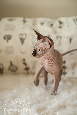 sphynx hairless kittens for sale in washington state