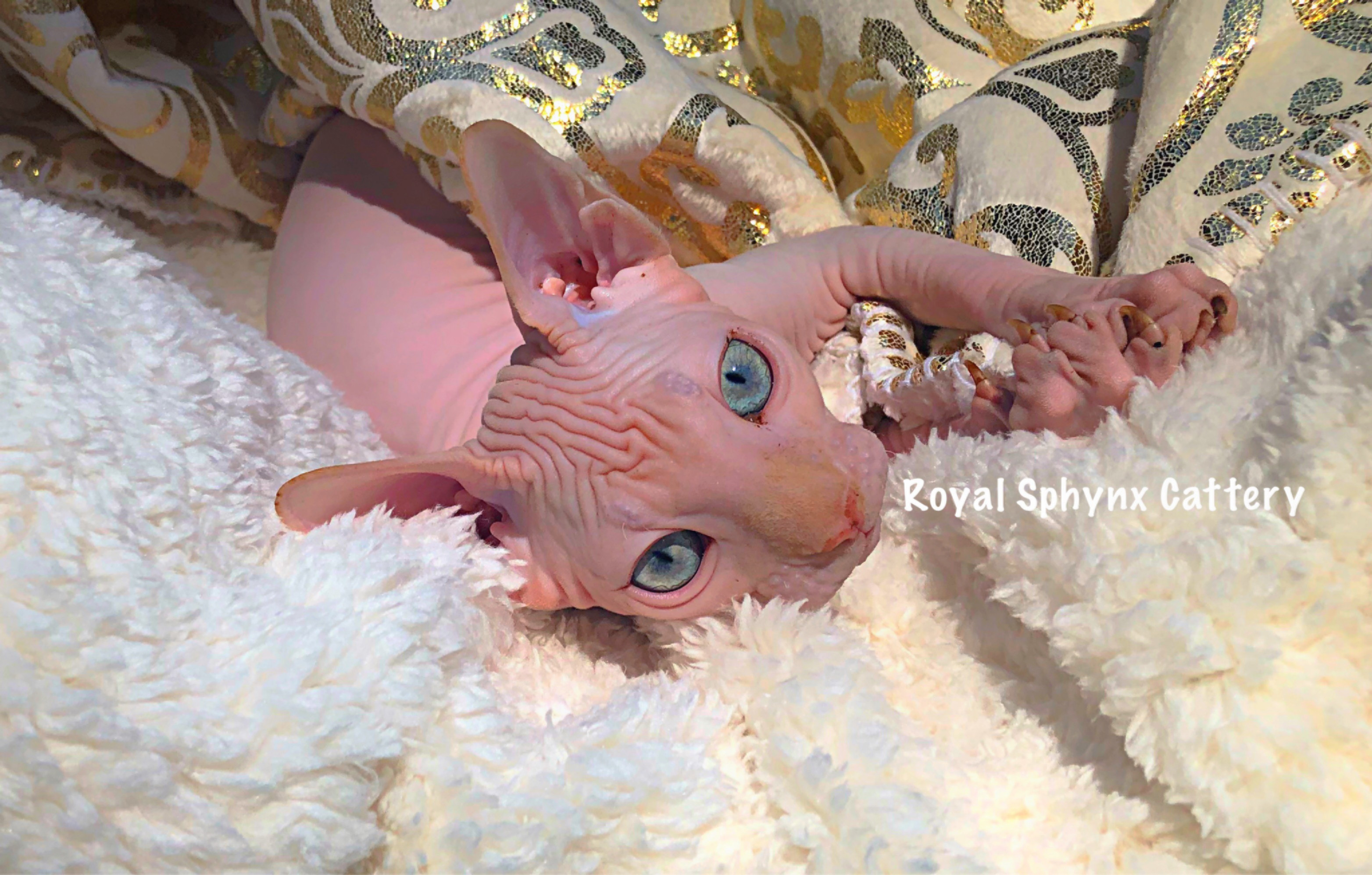 Available Kittens | Sphynx & Bambino Kittens For Sale Washington and