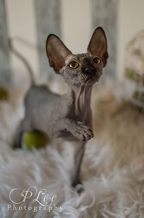 Sphynx & Bambino Kittens For Sale Washington and California