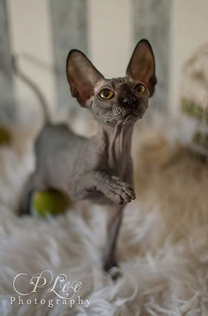 Sphynx & Bambino Kittens For Sale Washington and California