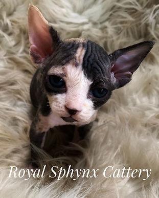 Available Kittens | Sphynx & Bambino Kittens For Sale