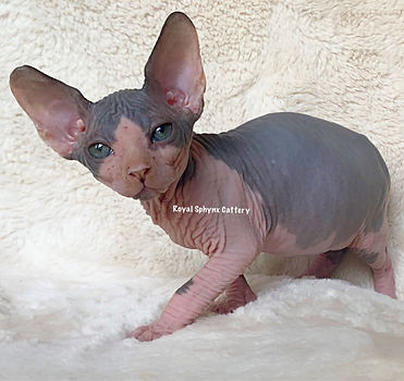 Available Kittens | Sphynx & Bambino Kittens For Sale