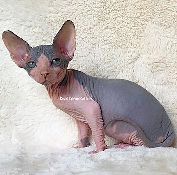 Available Kittens   Sphynx & Bambino Kittens For Sale