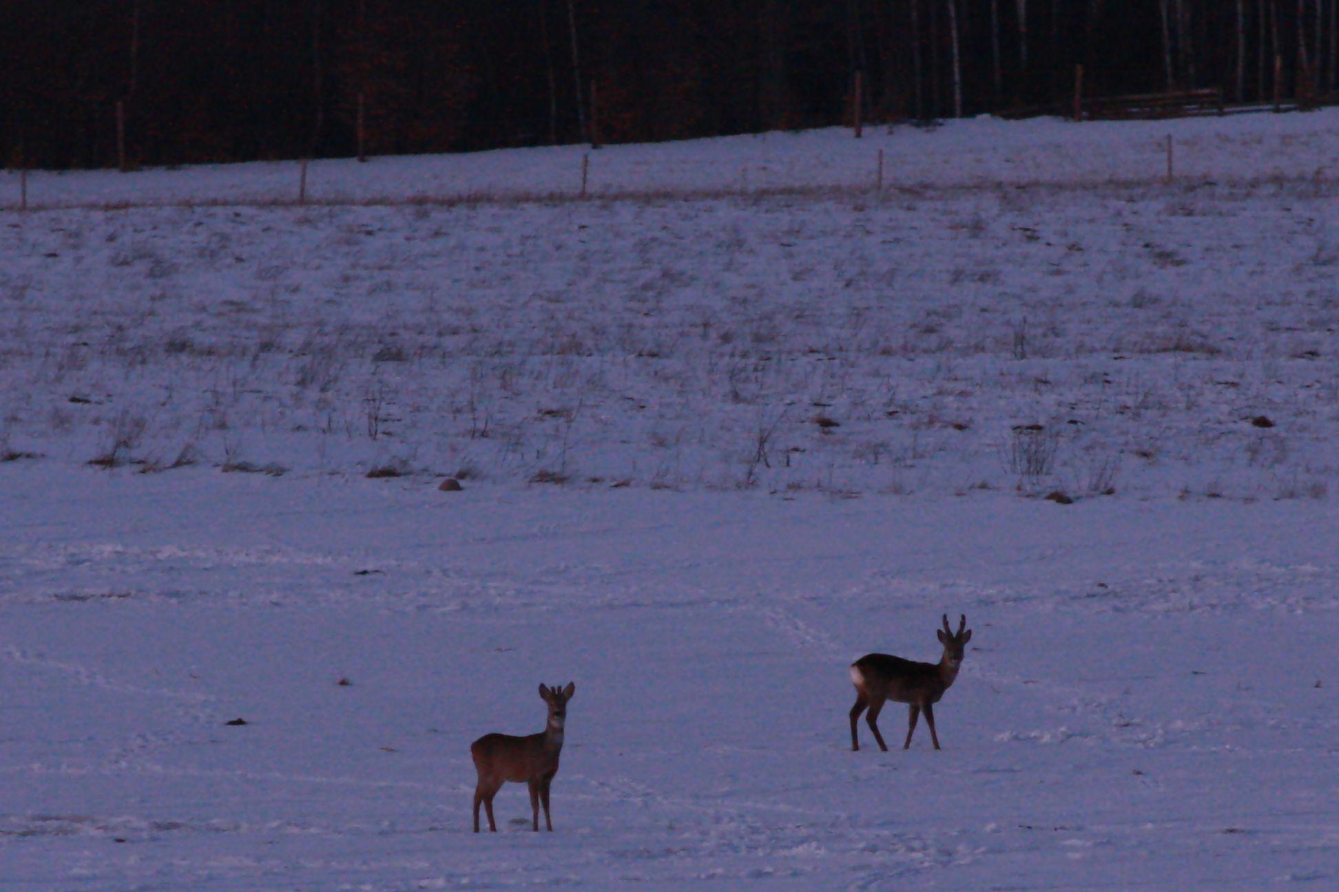 sarny na polu 10-03-2010 034