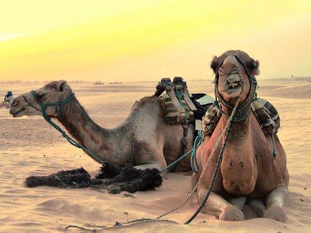 camels-2117221__340