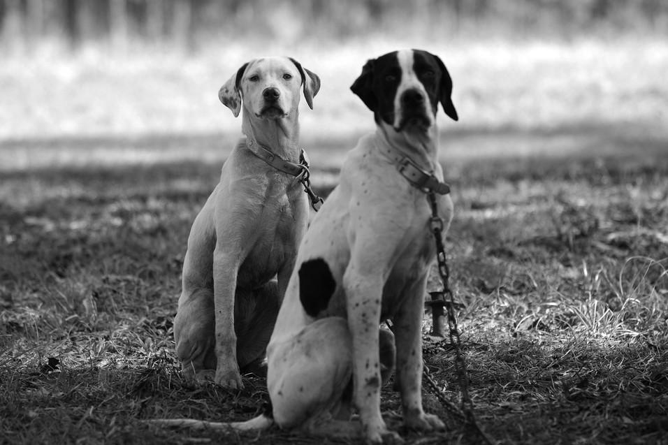 Dogs at Abigail Plantation.