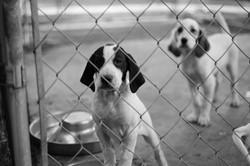 Hunting Dog Pups