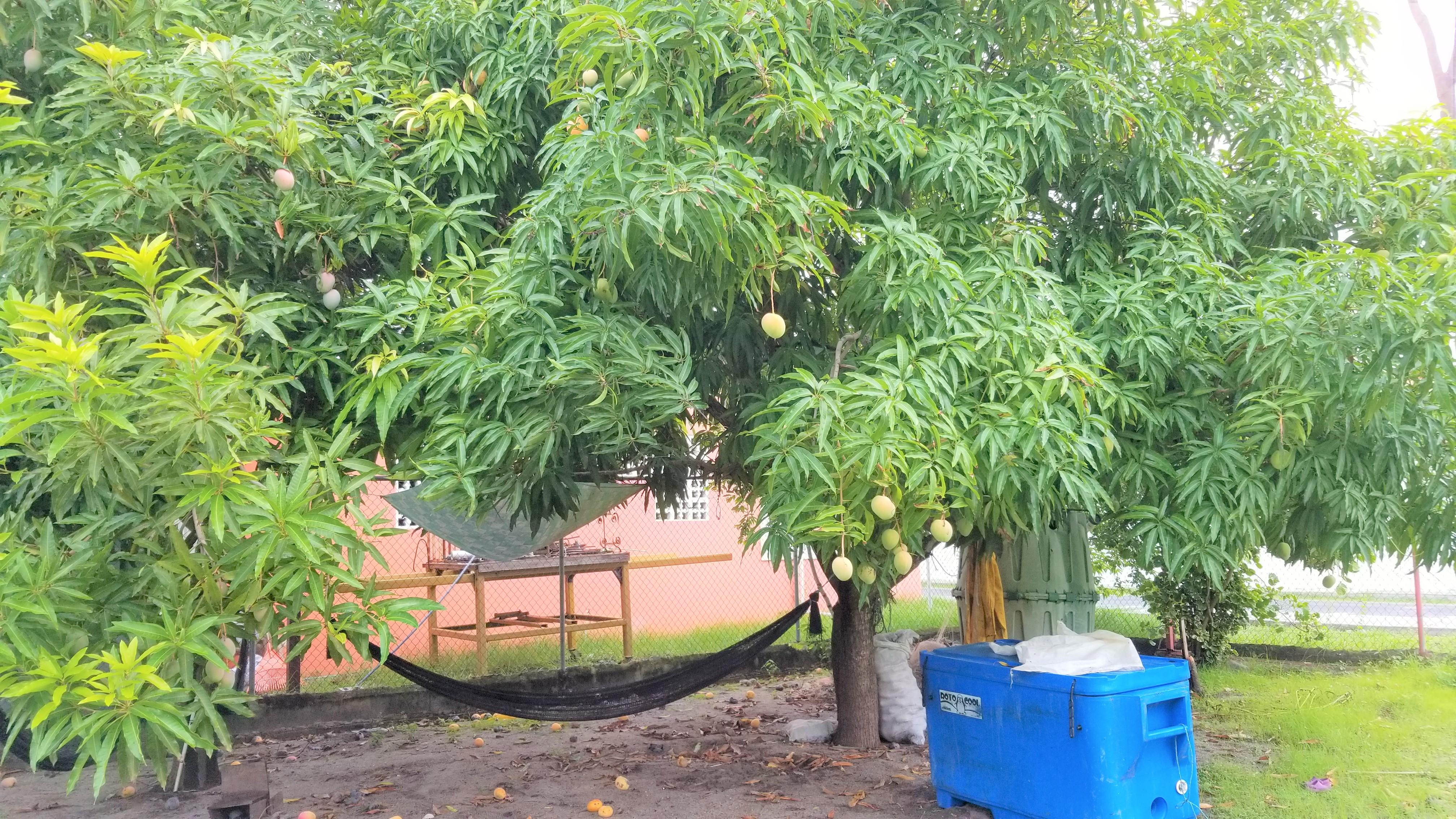 kw-MJL1901 mango2