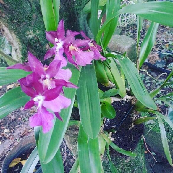 Essa orquídea é uma muda de outra que fo