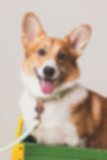 momo-studio-pet-studio-photography-corgi