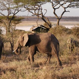 Elephants walking through camp