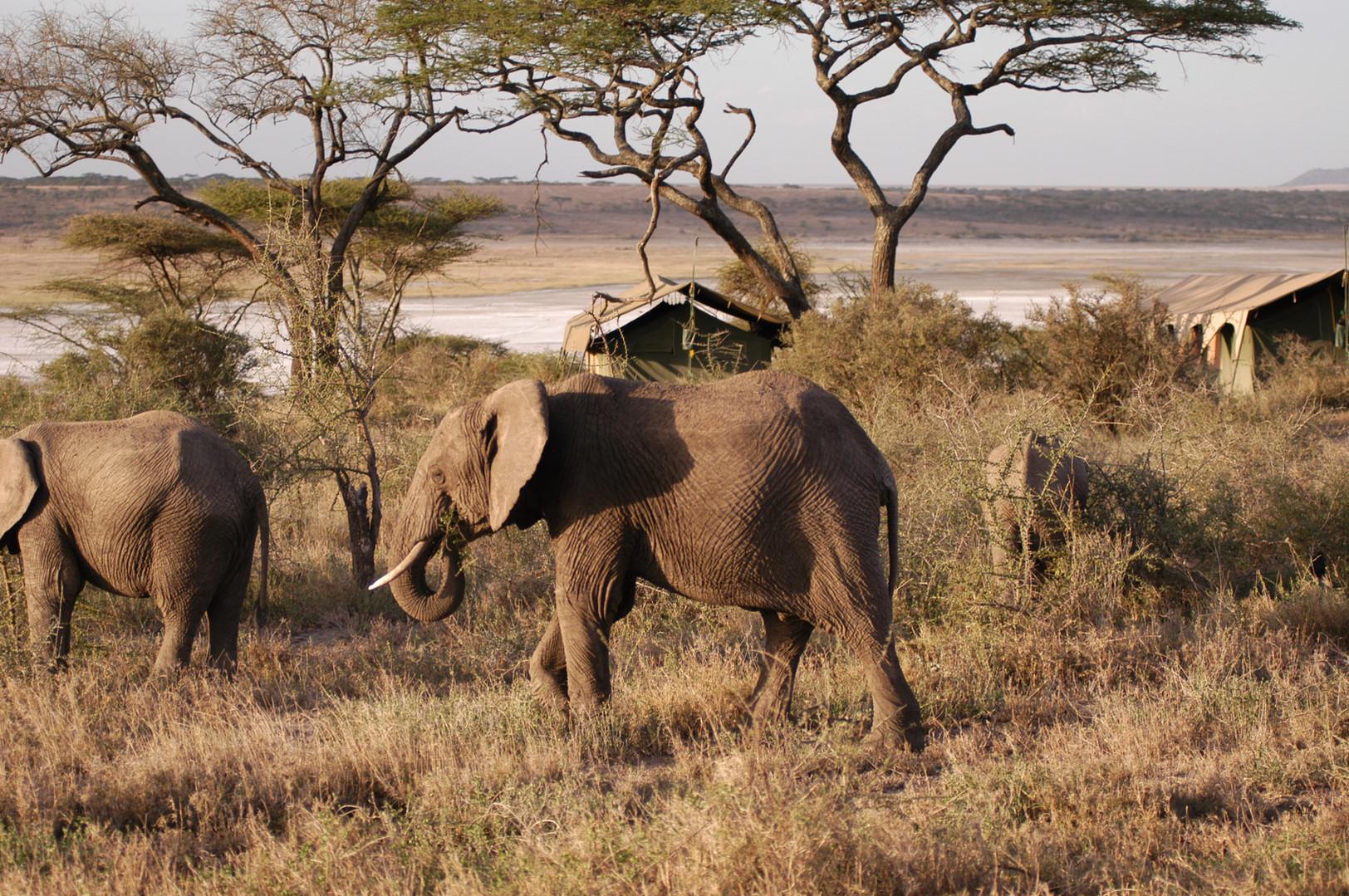 Elephant camp walking.JPG