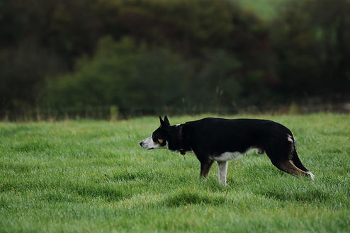 Border Collie stalking