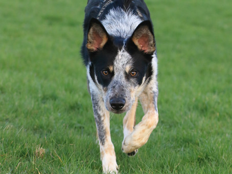My Border Collie chases cars!!!