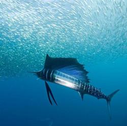 sailfish1_edited.jpg