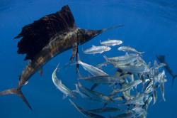 sailfish2.jpg