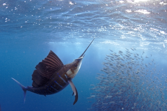 sailfish3.jpg