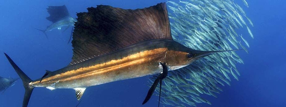 scuba sailfish_edited.jpg