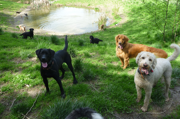 Ozzie, Luke Clouds foreground, Franny, Harley, Cooper and others in background.JPG