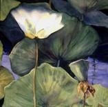 Opening lotus