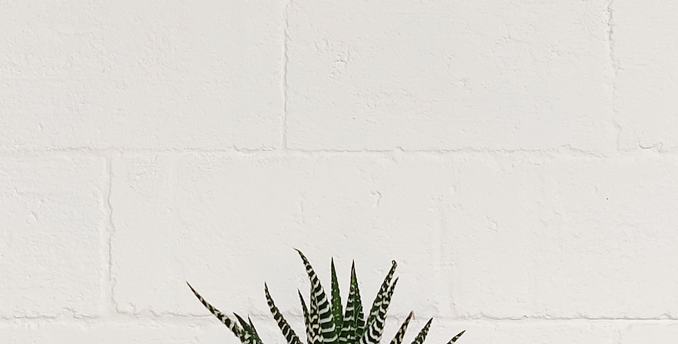 Zebra Haworthia Succulent