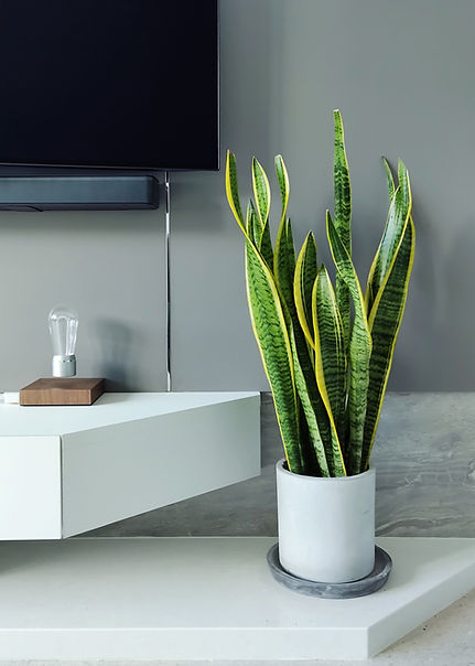 Terada Plants - Client's Home - Interior Plant Styling Service - Snake Plant Concrete Plan