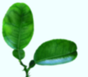 Lemon Leaf_edited.jpg