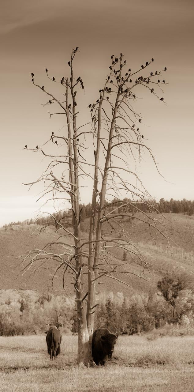 Buff, Tree & Birds