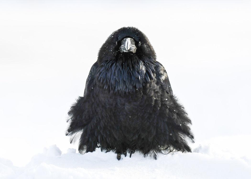 Raven Study #4