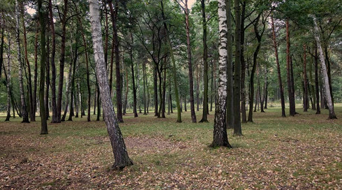 birch-trees.jpg