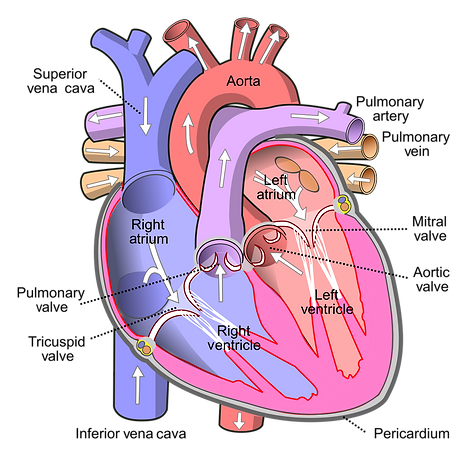 1043px-Diagram_of_the_human_heart_(cropp