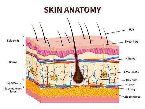 Skin-Anatomy.jpg