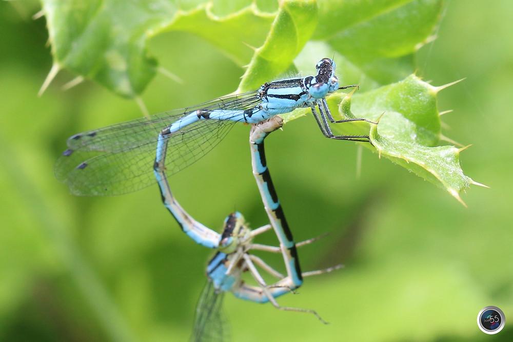 Common Blue Damselflies Mating