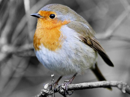 A Robin, by Robert G. Marshall of Studio 55 Photography