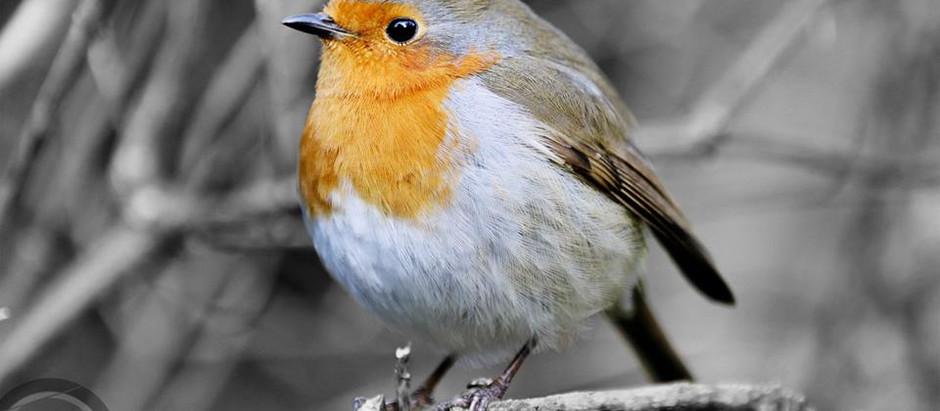 A Robin, by Robert G. Marshall of Studio 55 Photography