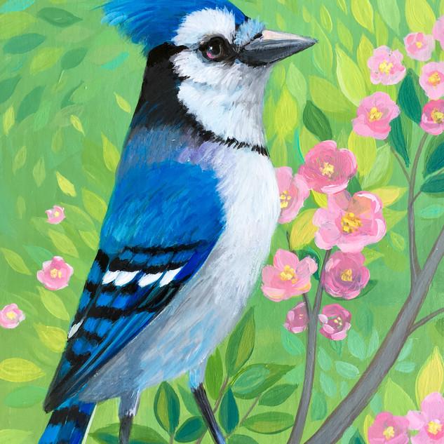 Blue Jay Spring