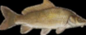 kisspng-common-carp-grass-carp-fish-cypr