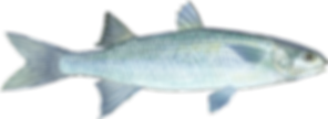 pngkey.com-mullet-png-2140181.png