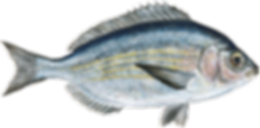 black-seabream.png