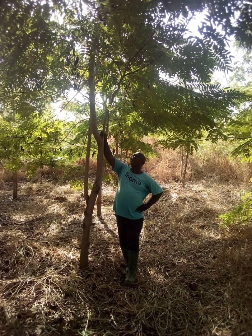 3 Year Cassia Seedlings