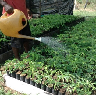 Watering at Nursery
